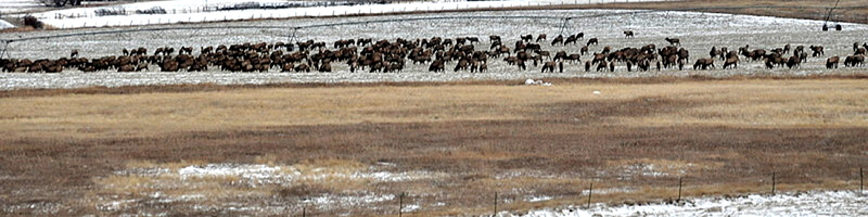 Elk herd on O'Hair Ranch
